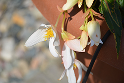 Waterfall® Encanto White® Begonia (Begonia boliviensis 'Encanto White') at Plants Unlimited