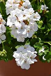 Calliope® White Geranium (Pelargonium 'Calliope White') at Plants Unlimited