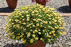 Grandessa® Yellow Marguerite Daisy (Argyranthemum 'Grandessa Yellow') at Plants Unlimited