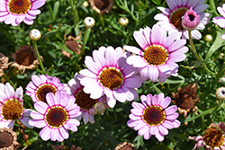 Grandessa® Pink Halo Marguerite Daisy (Argyranthemum 'Grandessa Pink Halo') at Plants Unlimited