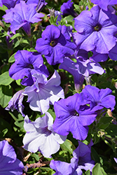 Surfinia® Heavenly Blue Petunia (Petunia 'Surfinia Heavenly Blue') at Plants Unlimited