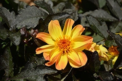 Dahlightful® Tupelo Honey Dahlia (Dahlia 'G15307') at Plants Unlimited