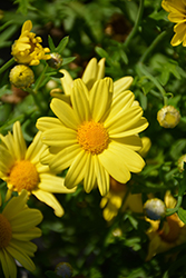 Golden Butterfly™ Marguerite Daisy (Argyranthemum frutescens 'G15101') at Plants Unlimited