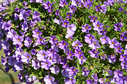 MiniFamous® Neo Light Blue Calibrachoa (Calibrachoa 'MiniFamous Neo Light Blue') at Plants Unlimited