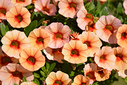 MiniFamous® Neo Apricot Red Eye Calibrachoa (Calibrachoa 'MiniFamous Neo Apricot Red Eye') at Plants Unlimited