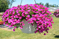 Noa Dark Pink Carnival Calibrachoa (Calibrachoa 'Noa Dark Pink Carnival') at Plants Unlimited