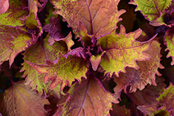 Henna Coleus (Solenostemon scutellarioides 'Henna') at Plants Unlimited