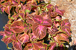 Superfine Rainbow Festive Dance Coleus (Solenostemon scutellarioides 'Rainbow Festive Dance') at Plants Unlimited