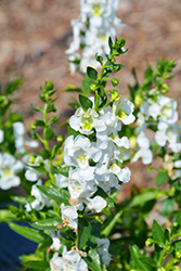 Angelina White Angelonia (Angelonia angustifolia 'Angelina White') at Plants Unlimited