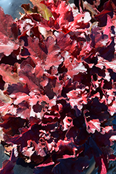 Forever® Red Coral Bells (Heuchera 'Forever Red') at Plants Unlimited
