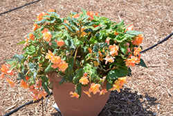 Illumination® Apricot Shades Begonia (Begonia 'Illumination Apricot Shades') at Plants Unlimited