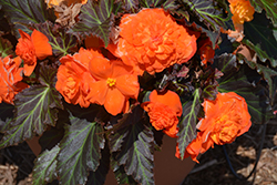 Nonstop® Mocca Bright Orange Begonia (Begonia 'Nonstop Mocca Bright Orange') at Plants Unlimited