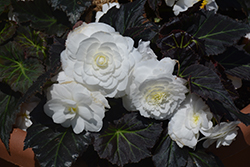 Nonstop® Mocca White Begonia (Begonia 'Nonstop Mocca White') at Plants Unlimited