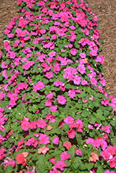 Accent™ Premium Rose Impatiens (Impatiens walleriana 'Accent Premium Rose') at Plants Unlimited
