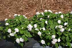 Rockapulco® White Impatiens (Impatiens 'Balfiewite') at Plants Unlimited