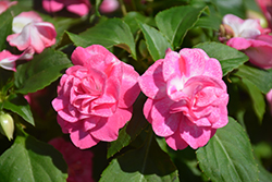 Rockapulco® Rose Impatiens (Impatiens 'BALOLESTOP') at Plants Unlimited