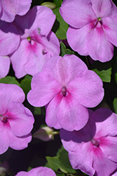 Super Elfin® XP Blue Pearl Impatiens (Impatiens walleriana 'Super Elfin XP Blue Pearl') at Plants Unlimited