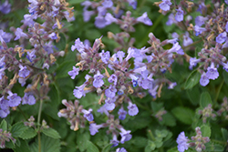 Kitten Around Catmint (Nepeta x faassenii 'Kitten Around') at Plants Unlimited