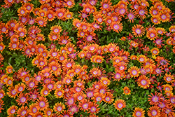 Fire Spinner Ice Plant (Delosperma 'Fire Spinner') at Plants Unlimited