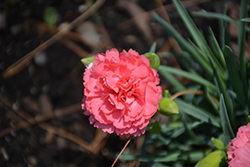 Fruit Punch® Classic Coral Pinks (Dianthus 'Classic Coral') at Plants Unlimited