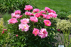 Paula Fay Peony (Paeonia 'Paula Fay') at Plants Unlimited