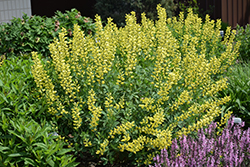 American Goldfinch False Indigo (Baptisia 'American Goldfinch') at Plants Unlimited