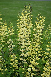 Decadence® Lemon Meringue False Indigo (Baptisia 'Lemon Meringue') at Plants Unlimited