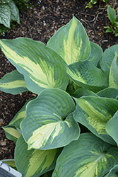 Hudson Bay Hosta (Hosta 'Hudson Bay') at Plants Unlimited