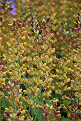 Decadence® Cherries Jubilee False Indigo (Baptisia 'Cherries Jubilee') at Plants Unlimited