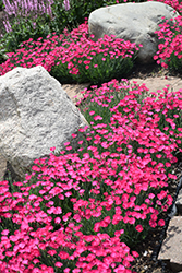 Paint The Town Magenta Pinks (Dianthus 'Paint The Town Magenta') at Plants Unlimited