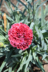Fruit Punch® Raspberry Ruffles Pinks (Dianthus 'Raspberry Ruffles') at Plants Unlimited