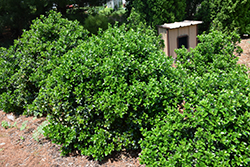 Castle Wall® Meserve Holly (Ilex x meserveae 'Heckenstar') at Plants Unlimited