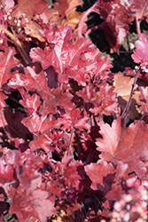 Dolce® Cherry Truffles Coral Bells (Heuchera 'Cherry Truffles') at Plants Unlimited