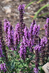 Pink Profusion Meadow Sage (Salvia nemorosa 'Pink Profusion') at Plants Unlimited