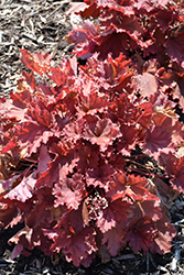 Peachberry Ice Coral Bells (Heuchera 'Peachberry Ice') at Plants Unlimited