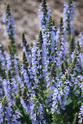 Color Spires® Crystal Blue Sage (Salvia nemorosa 'Crystal Blue') at Plants Unlimited
