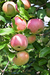 Northern Spy Apple (Malus 'Northern Spy') at Plants Unlimited