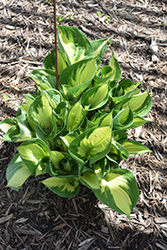 Whirlwind Hosta (Hosta 'Whirlwind') at Plants Unlimited