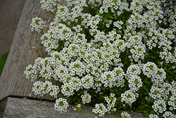 Snow Princess® Alyssum (Lobularia 'Snow Princess') at Plants Unlimited
