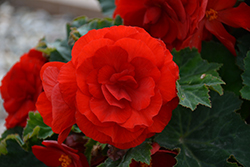 Nonstop® Deep Red Begonia (Begonia 'Nonstop Deep Red') at Plants Unlimited