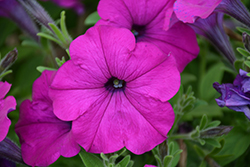 Easy Wave® Violet Petunia (Petunia 'Easy Wave Violet') at Plants Unlimited