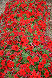 Easy Wave® Red Petunia (Petunia 'Easy Wave Red') at Plants Unlimited