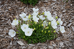 Pearl White Bellflower (Campanula carpatica 'Pearl White') at Plants Unlimited