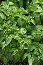 Amazel™ Basil (Ocimum 'Amazel') at Plants Unlimited