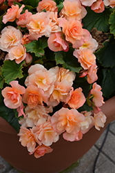 Solenia® Apricot Begonia (Begonia 'Solenia Apricot') at Plants Unlimited