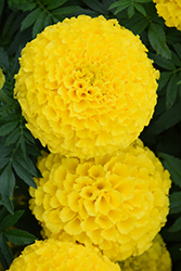 Taishan Yellow Marigold (Tagetes erecta 'Taishan Yellow') at Plants Unlimited