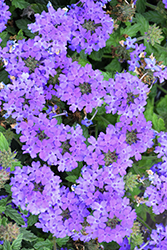 Superbena® Royale Chambray Verbena (Verbena 'Superbena Royale Chambray') at Plants Unlimited