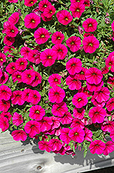 Celebration Purple Rain Calibrachoa (Calibrachoa 'Celebration Purple Rain') at Plants Unlimited