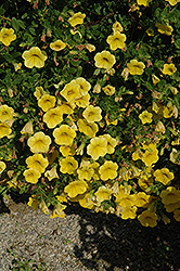 Noa Yellow Calibrachoa (Calibrachoa 'Noa Yellow') at Plants Unlimited