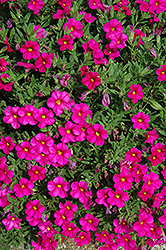 Callie® Rose Calibrachoa (Calibrachoa 'Callie Rose') at Plants Unlimited
